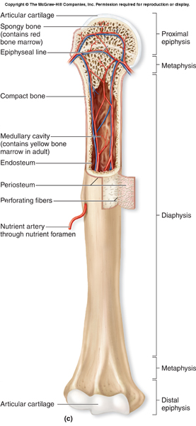 gross_anatomy_of-long-bone