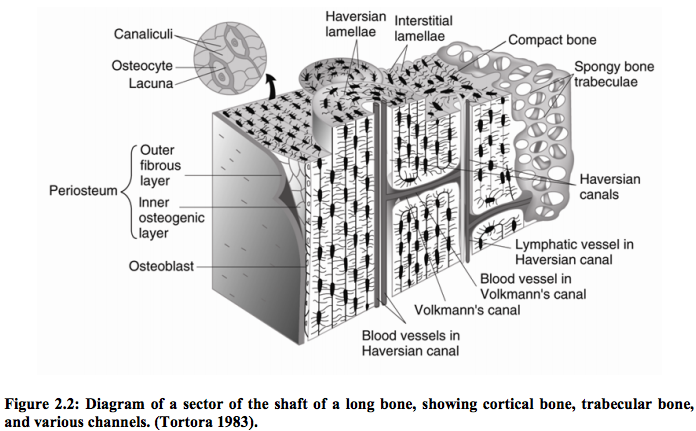 nature of cortical bone This mixture provides the stability and structure of the cortical bone while the spongy nature of cancellous bone allows for easier penetration of blood vessels for revascularization of the site mineralized cancellous bone.