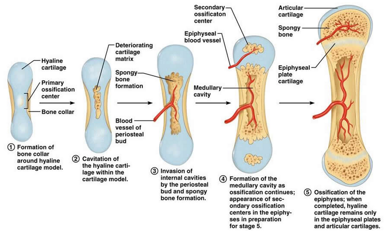 primary secondary ossification centers
