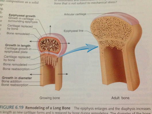 Articular Cartilage At The End Of Epiphysis Do Growth ...