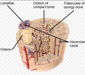 Decalcification of Bone Layer