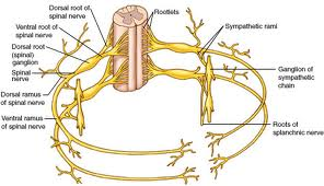 Ventral Dorsal Root Spinal Cord
