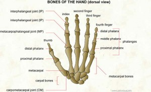 027 Bones of the hand (dorsal view)