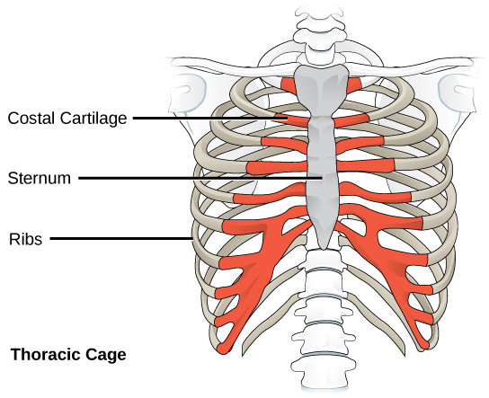 Specific Bones Grow Bigger Skeletal Maturity Growth Plate Closure furthermore Why Is My Spinal Cord Important besides Thorax moreover 6 additionally 22537 Skeletal System. on parts of the skeletal system and their definition