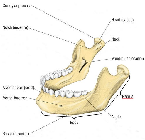 What Is the Mandibular Ramus? (with pictures)