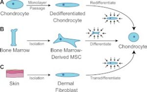 bonemarrowchondrodifferentiation